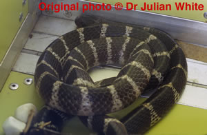 Bungarus multicinctus ( Chinese Krait )  [ Original photo copyright © Dr Julian White ]