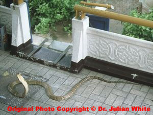 Ophiophagus hannah  ( King Cobra )  [ Original photo copyright © Dr Julian White ]